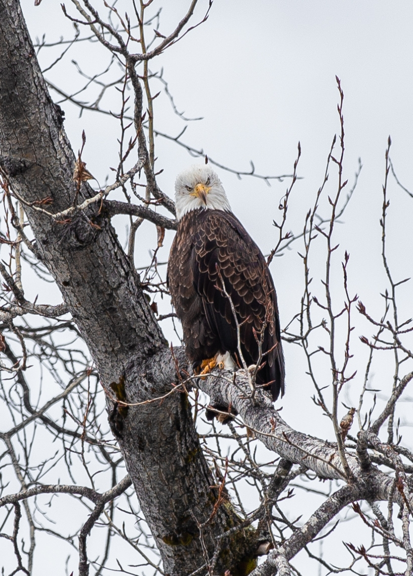 eagle-3